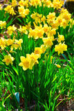 Garden spring daffodils Royalty Free Stock Photography