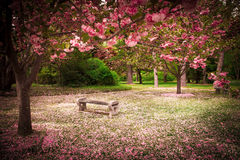 Garden in Spring. Tranquil garden bench surrounded by cherry blossom trees Stock Photo
