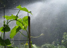 Water spraying on squash plants Stock Photo