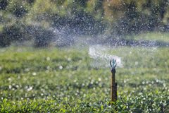 Garden Sprinkler Watering Tea Plantation. Stock Image