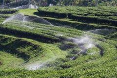 Garden Sprinkler Watering Tea Plantation. Stock Photos
