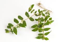Garden Spurge (Euphorbia hirta L.) Royalty Free Stock Photography