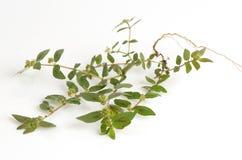 Garden Spurge (Euphorbia hirta L.) Royalty Free Stock Photos