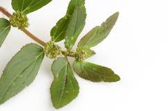 Garden Spurge (Euphorbia hirta L.) Royalty Free Stock Photo