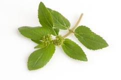 Garden Spurge (Euphorbia hirta L.) Royalty Free Stock Images