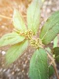 Garden spurge plant in nature garden. Close up garden spurge plant in nature garden stock image