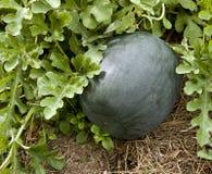 Garden squash Royalty Free Stock Image
