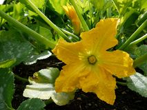 Garden: squash flower - h Royalty Free Stock Image