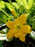 Vegetable garden: squash flower - v Royalty Free Stock Photo