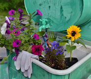 Garden still life with beautiful flowers and protective gloves Royalty Free Stock Photography