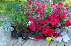 Garden still life with petunia flowers and working tools on planks Stock Photos