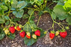 Garden strawberries ripening in organic garden royalty free stock images
