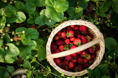 Garden strawberry. In a basket with natural  green leaves backgound Royalty Free Stock Images