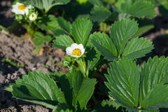 Garden strawberry bloom Stock Image