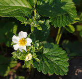 Garden strawberry flower Stock Photo