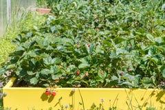 Garden strawberry Stock Photography