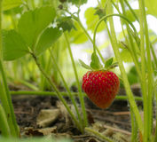 Garden strawberry. I took this picture of a strawberry from my garden before a beast feeds on it. I ate it after and it was very good Stock Image