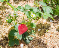 Garden strawberry plant with flowers and ripe fruit Stock Photo