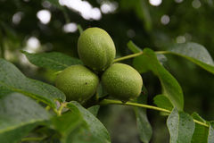 Garden-stuffs of nut walachian Stock Photography