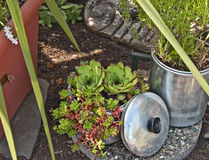 Garden Succulents in Household Containers Royalty Free Stock Images