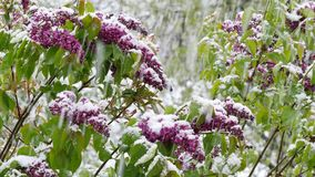 Garden  after sudden snowfall in april. Blossoming elder bush after sudden snowfall in april stock video