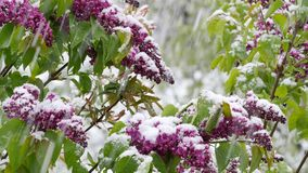 Garden  after sudden snowfall in april. Blossoming elder bush after sudden snowfall in april stock footage