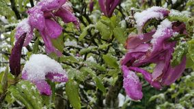 Garden  after sudden snowfall in april. Blossoming mabnolia tree after sudden snowfall in april stock video footage