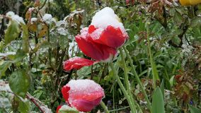 Garden  after sudden snowfall in april. Tulips after sudden snowfall in april stock video footage