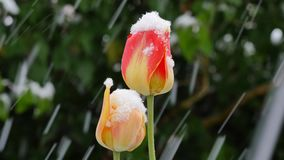 Garden  after sudden snowfall in april. Tulips after sudden snowfall in april stock footage