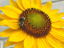 Garden Sunflower in Bloom with Bee Royalty Free Stock Photo