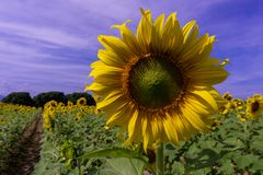 Sun flower on blue sky royalty free stock photo