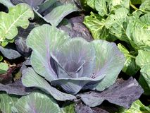 Vegetable garden: sunlit red cabbage. Sunlit red cabbage growing in organic garden Royalty Free Stock Image