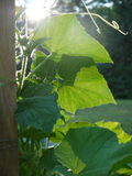 Vegetable garden: sunlit squash vine leaves Royalty Free Stock Photos