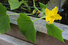 Garden Sweet Cucumber Flower royalty free stock images