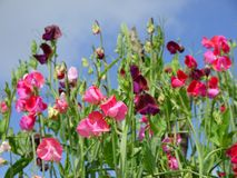 Garden: sweet pea flowers - h. Tall sweet pea flowers (Lathyrus odoratus) with blue sky in summer - horizontal format Royalty Free Stock Image