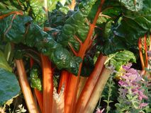 Healthy Food in Garden Swiss Chard Stalks. Closeup of bright orange and leafy green swiss chard in flower garden stock photos