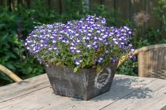 Garden table decorated with blue lobelias Royalty Free Stock Images