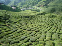 The garden of the tea in Cameron highland Stock Photos