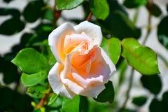 Garden tea rose Stock Photo