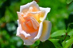 Garden tea rose. Blossoms in hot summer day Royalty Free Stock Photo