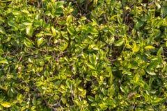 Garden texture. Green leaf garden texture. background Royalty Free Stock Photos