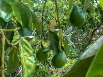 Close-up of Avocado Pear Suspended From Tree. In a garden three medium size green avocado pears suspended by their long stems from an avocado tree cultivated in royalty free stock photos