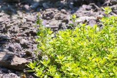 Garden thyme (Thymus vulgaris) Stock Images