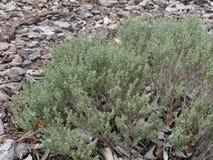 Garden thyme, Thymus vulgaris. Majorca, June 2015 Royalty Free Stock Photo