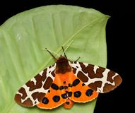 Garden Tiger Royalty Free Stock Photos