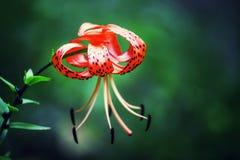Garden tiger lilies, Lilium lancifolium, syn. L. tigrinum, summer natural background, selective focus, shallow depth of field royalty free stock photos