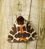 Garden Tiger Moth Royalty Free Stock Photo