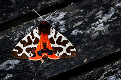 Garden tiger moth Royalty Free Stock Images
