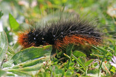 Garden Tiger moth caterpillar Royalty Free Stock Images