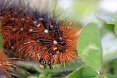 Garden Tiger moth caterpillar Royalty Free Stock Photo
